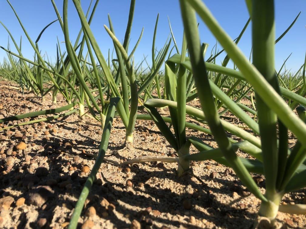 2021 Crop of Vidalia Onions in January