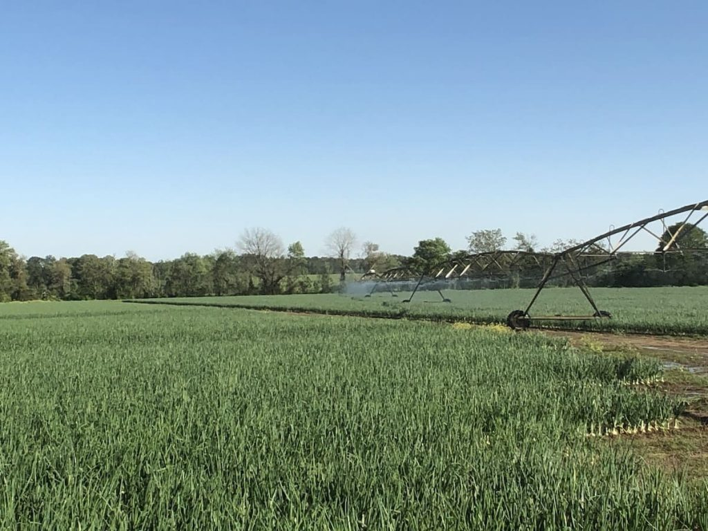 Water pivot watering vidalia onions