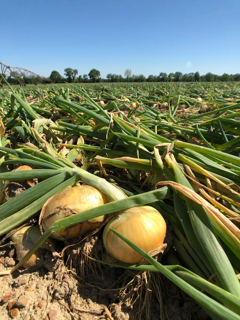 Vidalia Onions in the Field