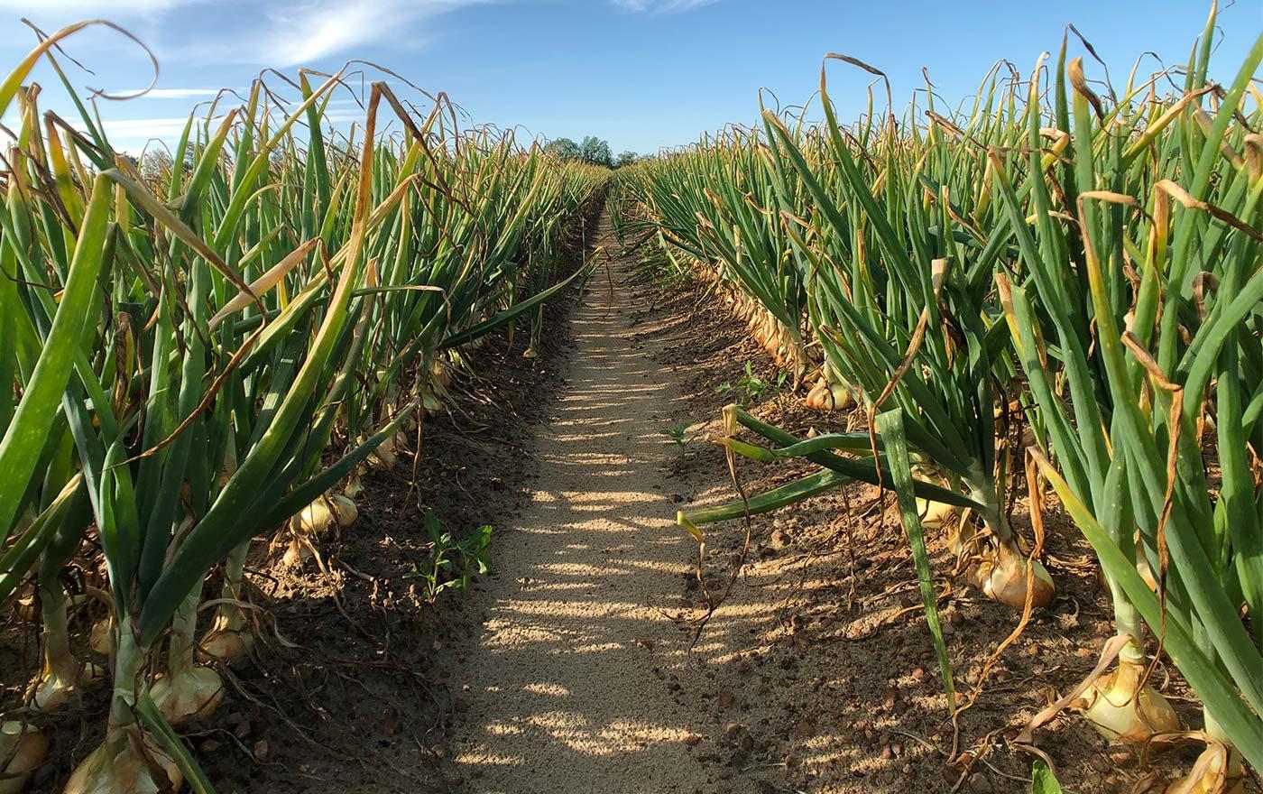 Vidalia Onion Fields