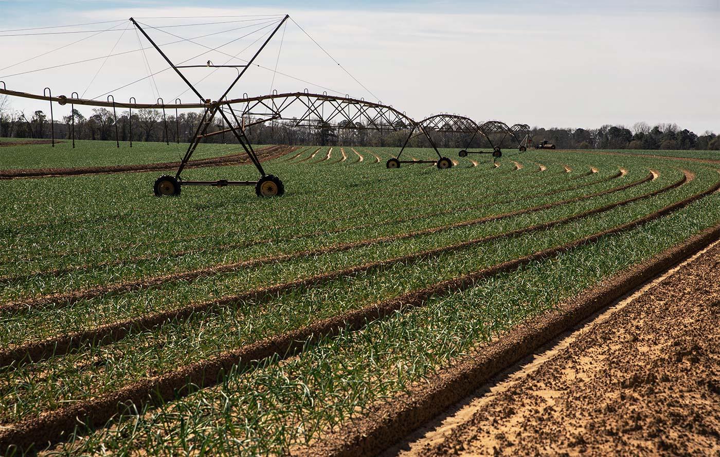 Field of Vidalia Onions in Georgia