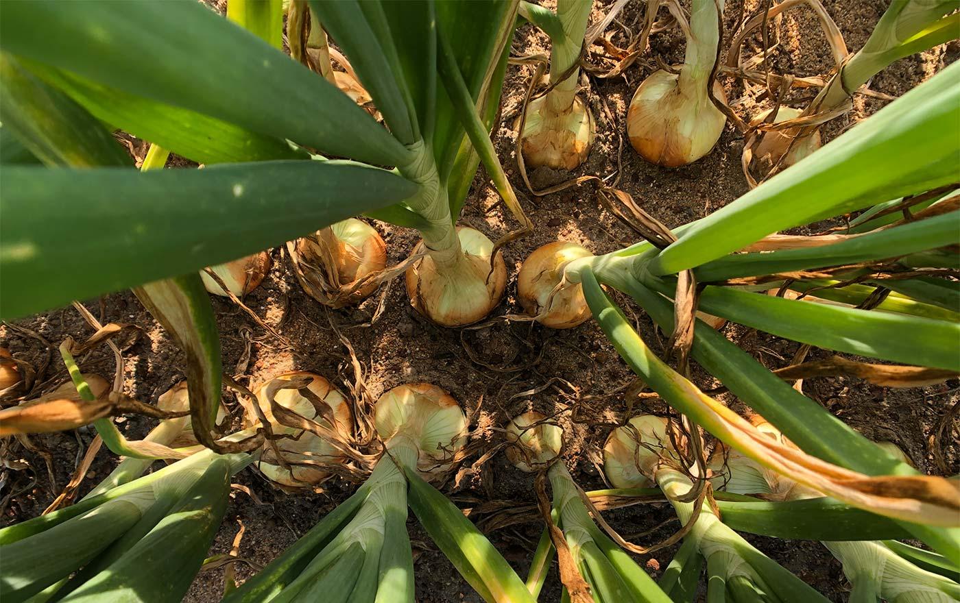 Vidalia Onions birds eye view